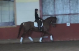Dressage gelding for sale